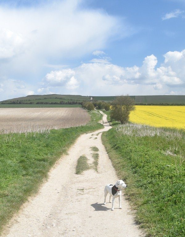 Dog stands on white chalky Ridgeway track that snakes off to horizon