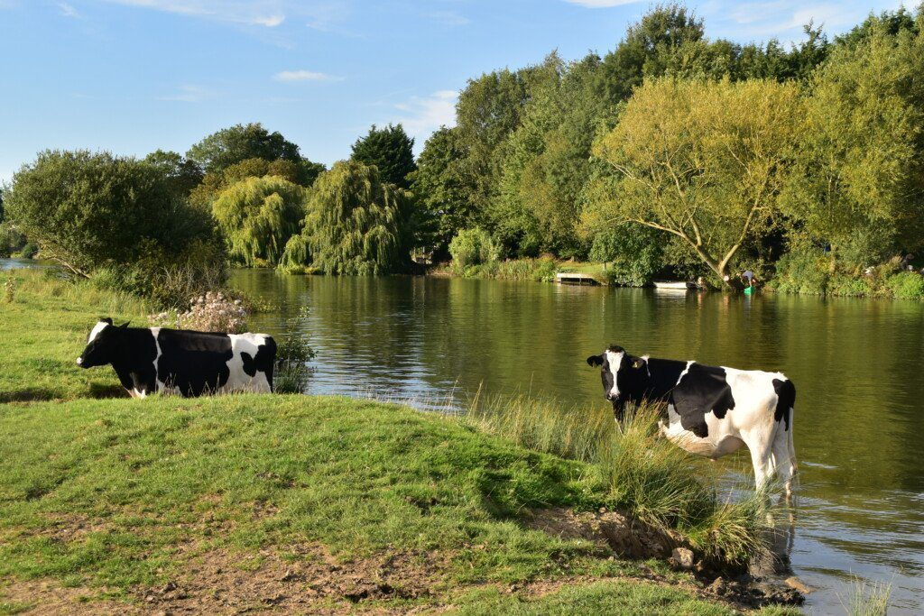 Two cows paddling in the Thames