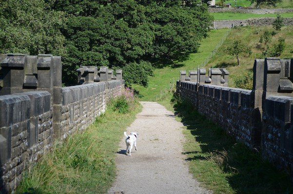 DALES WAY Daisy crossing the Barden Aqueduct at the end of Strid Woods