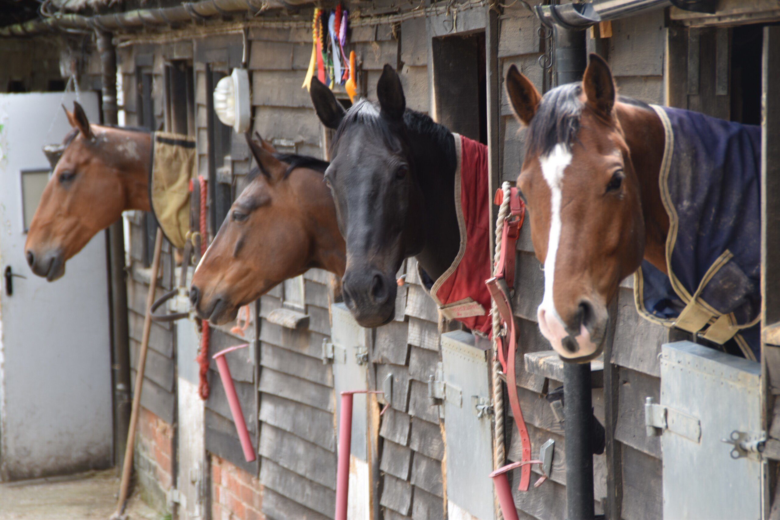 Four horses poke their heads out of a row of stable doors