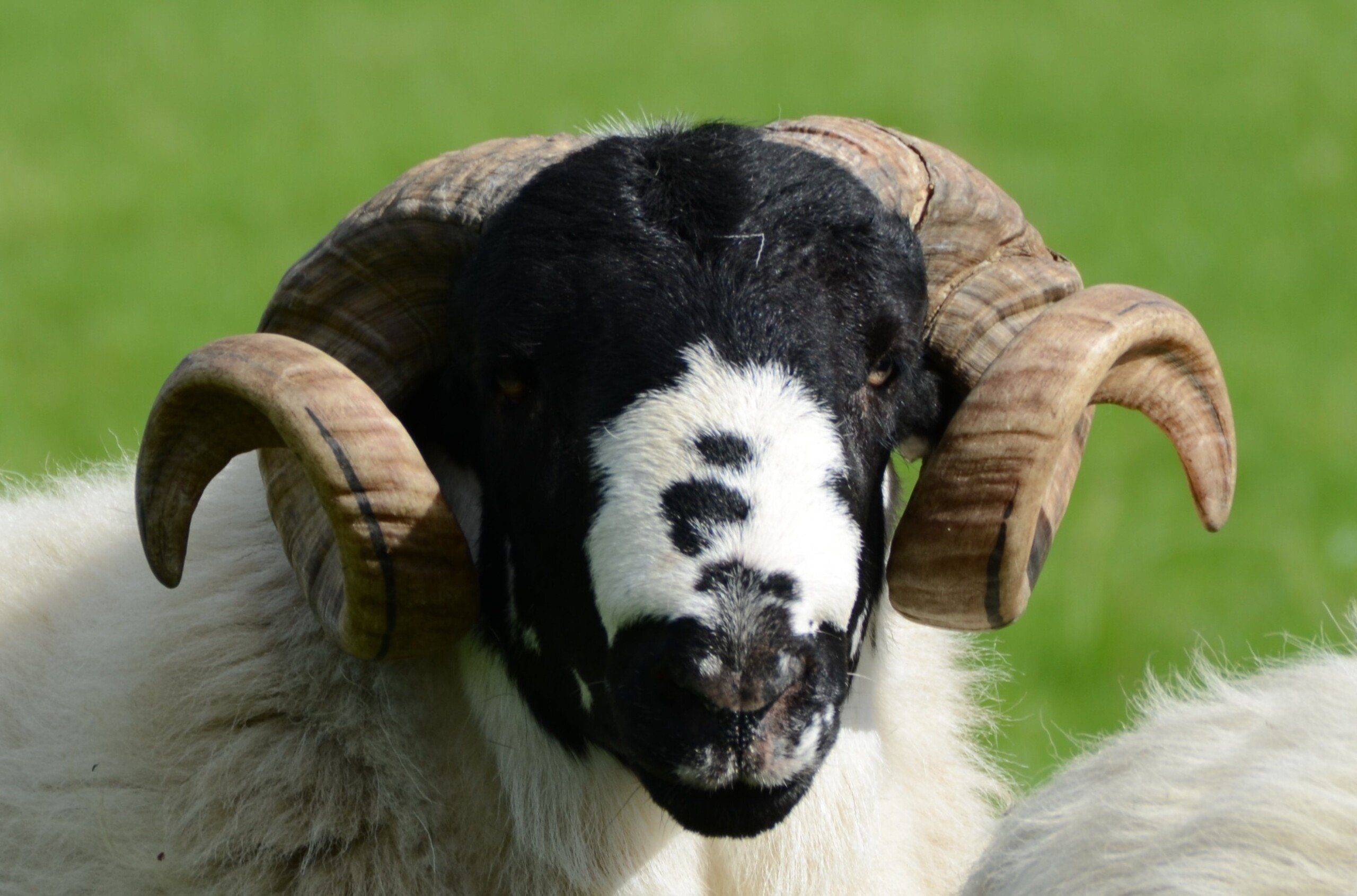 Close-up of sheep with impressive curly horns