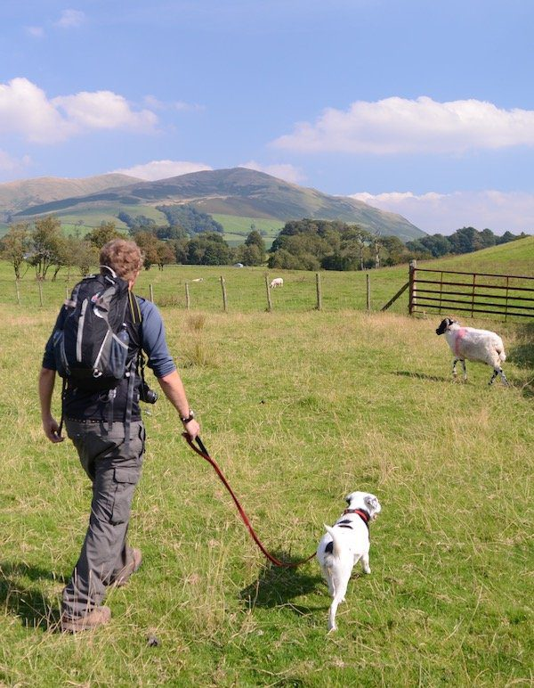 The Dales way is not the best route for dog walkers though it is pretty, as seen here as Joel walks my dog on a lead through a field of sheep