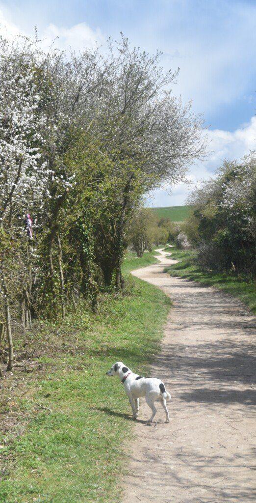 Daisy on the Ridgeway near Uffington