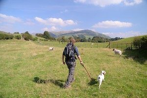 Trekker with Daisy the dog on a lead walking away from the camera through a field of sheep