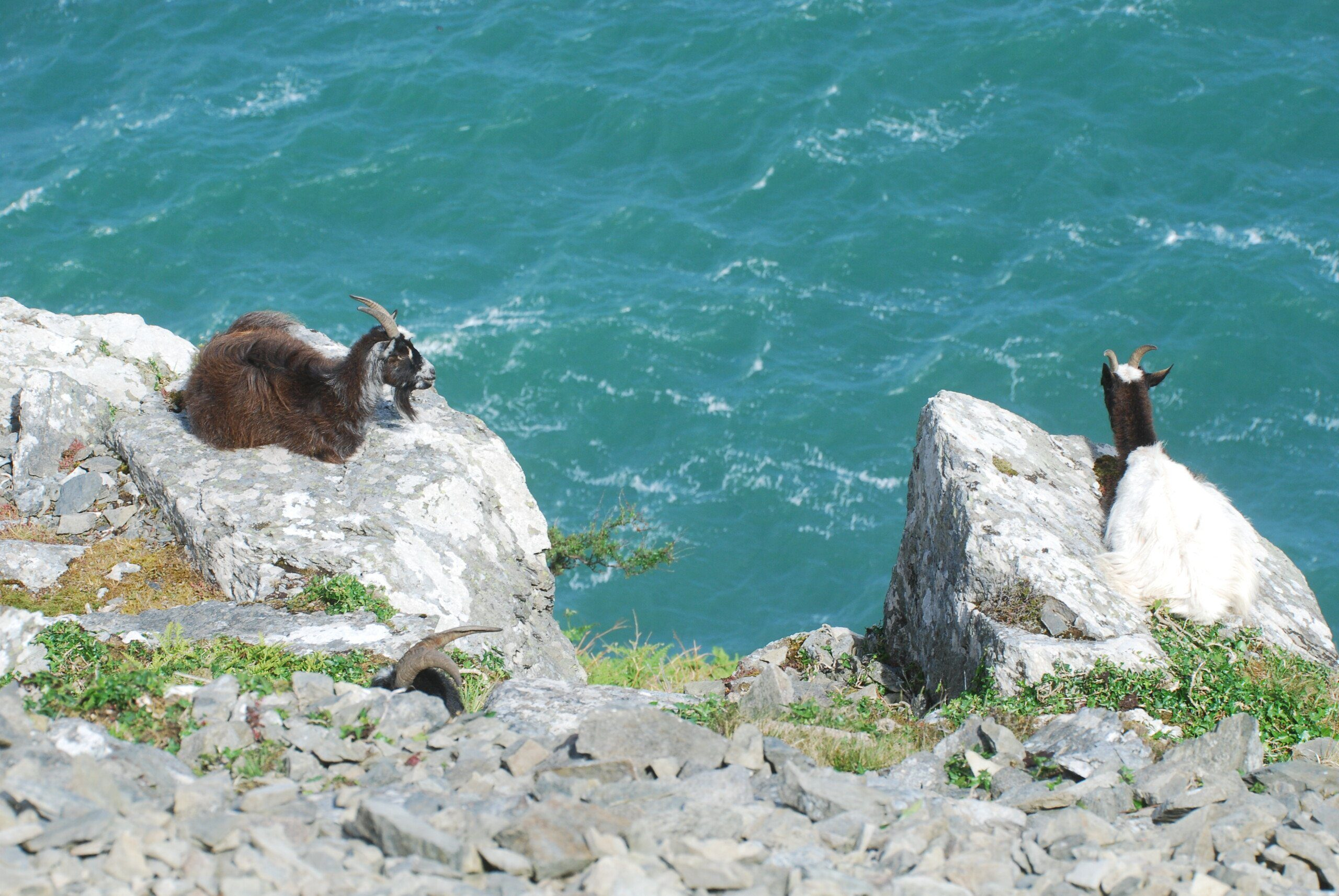 Two feral goats sitting on rocks overlooking the sea at Valley of the Rocks