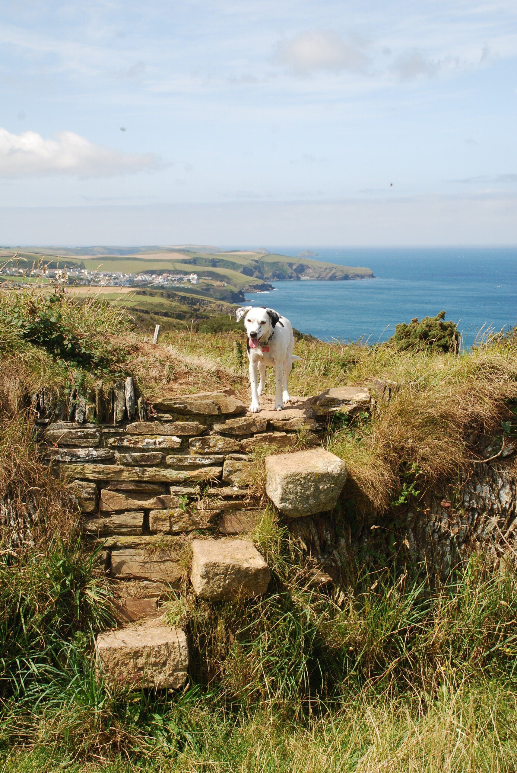 Daisy on stone wall with steps in it and cliffs and sea in background