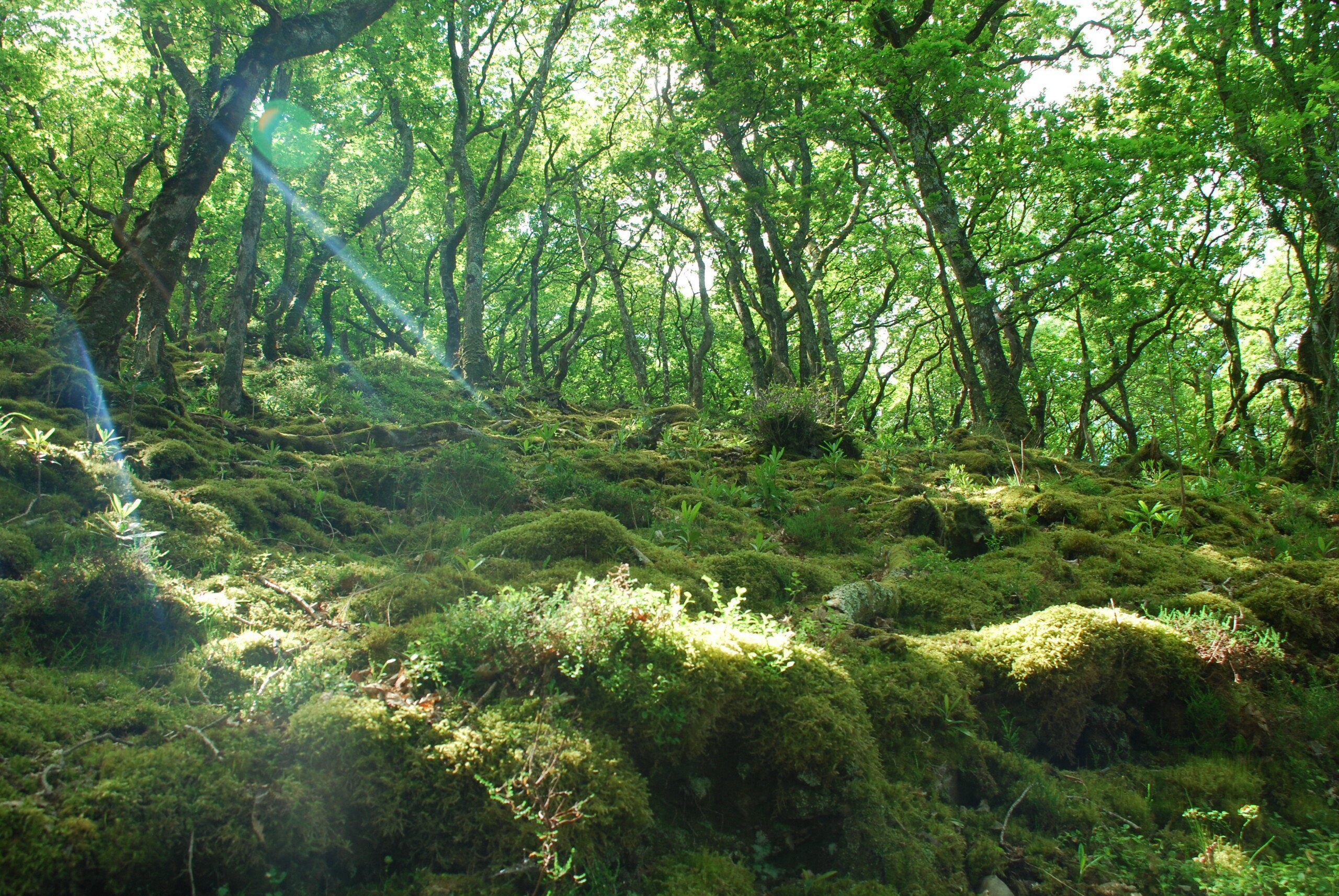 Woodland in Exmoor with shafts of sunlight streaming through the canopy