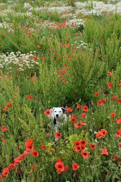 Daisy in a poppy field
