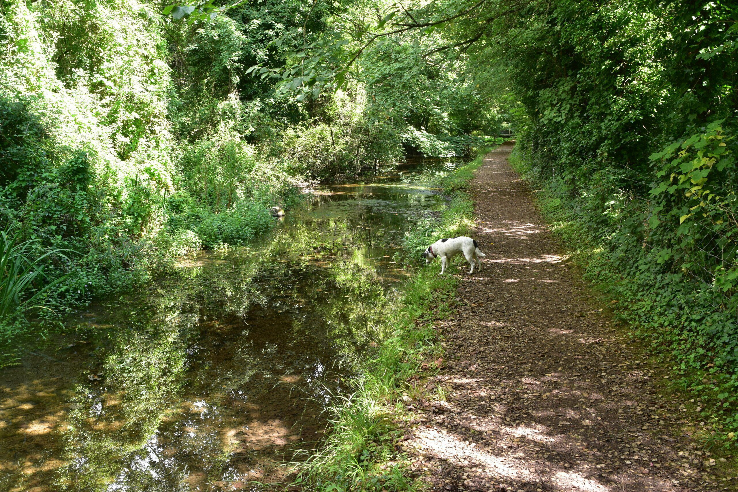 Daisy the Dog looks into a small, leaf-shaded river