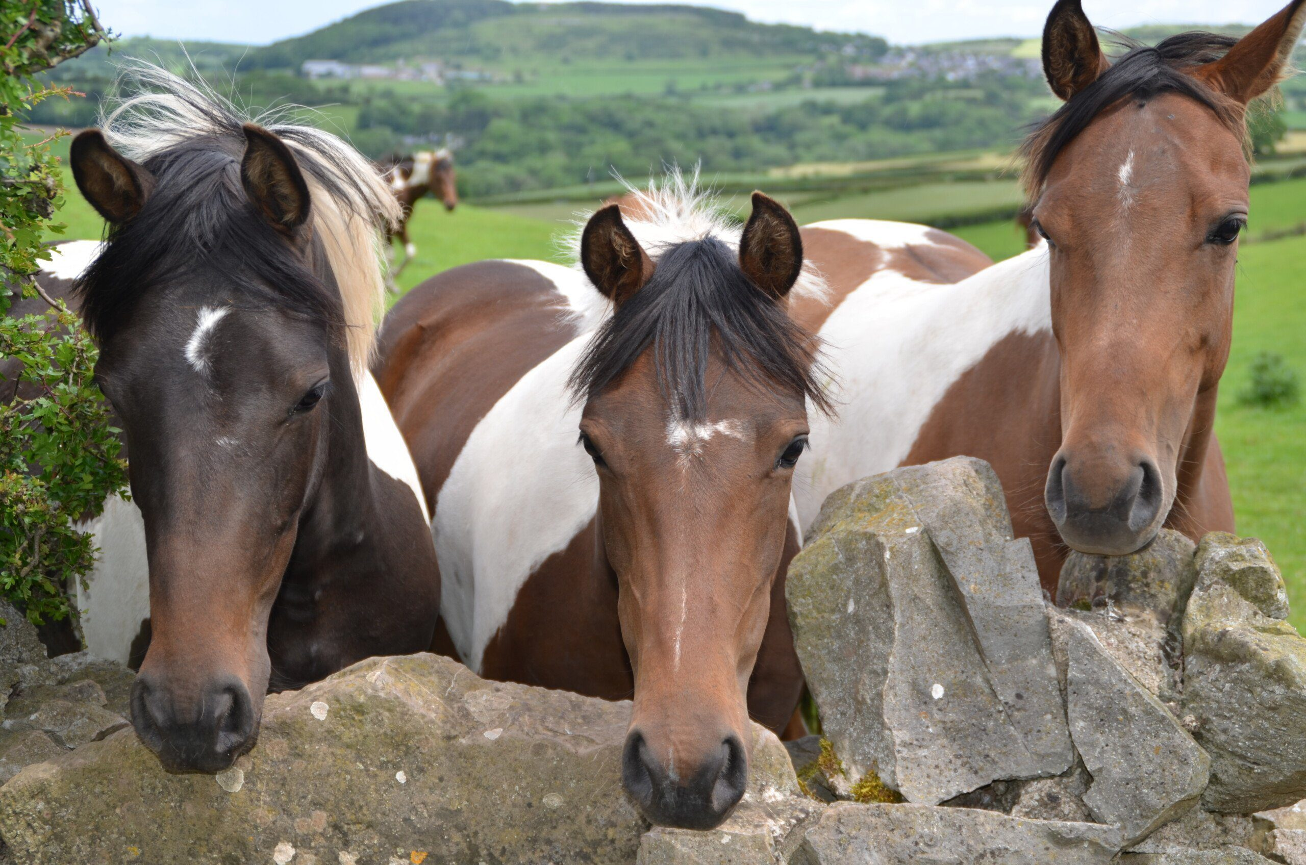 Three horses looking over an old stone wall