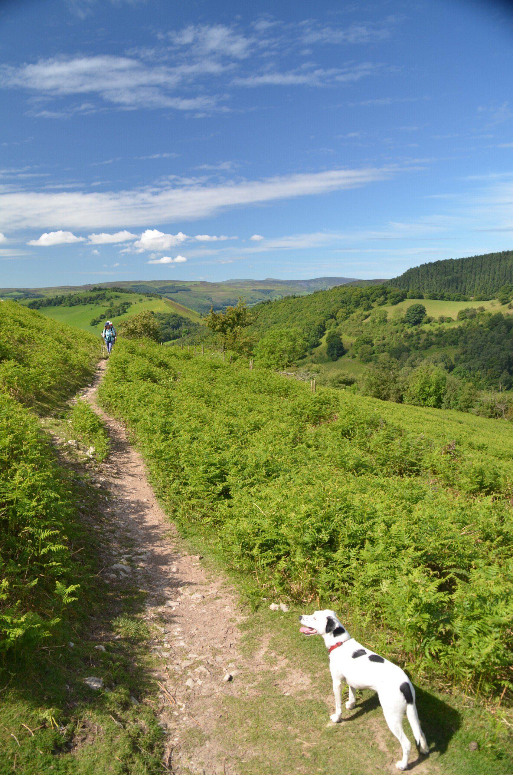 Daisy in the bracken near Eglwyseg Crags on the Offa's Dyke Path