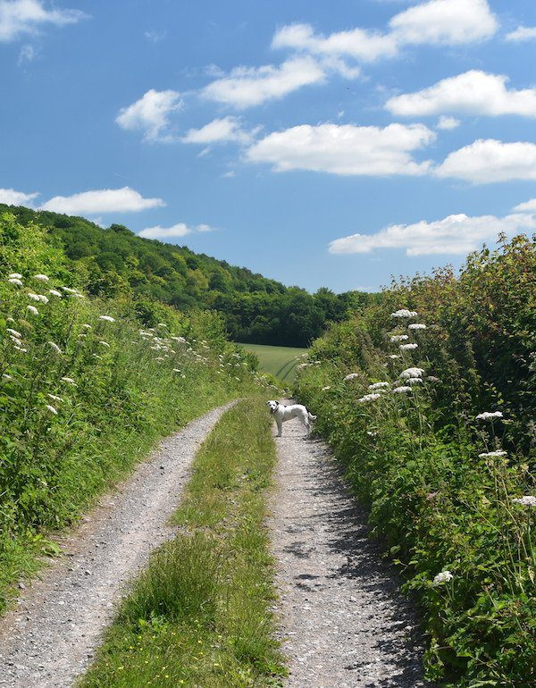Cow parsley lines track of North Downs Way as Daisy the Dog looks back at the camera