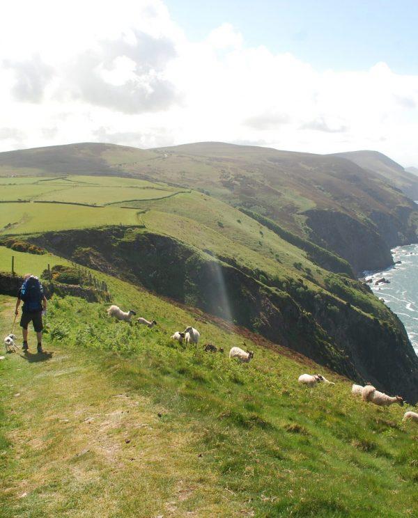 South-West Coast Path, Daisy scares sheep