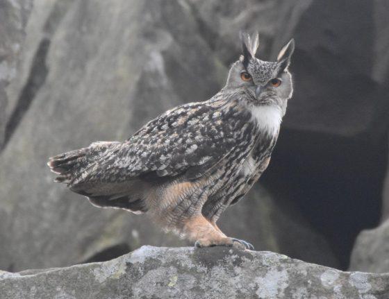 Eagle owl staring at camera, North York Moors, Cleveland Way