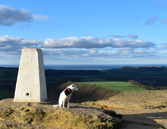 Daisy by trig point at Roseberry Topping, Cleveland Way