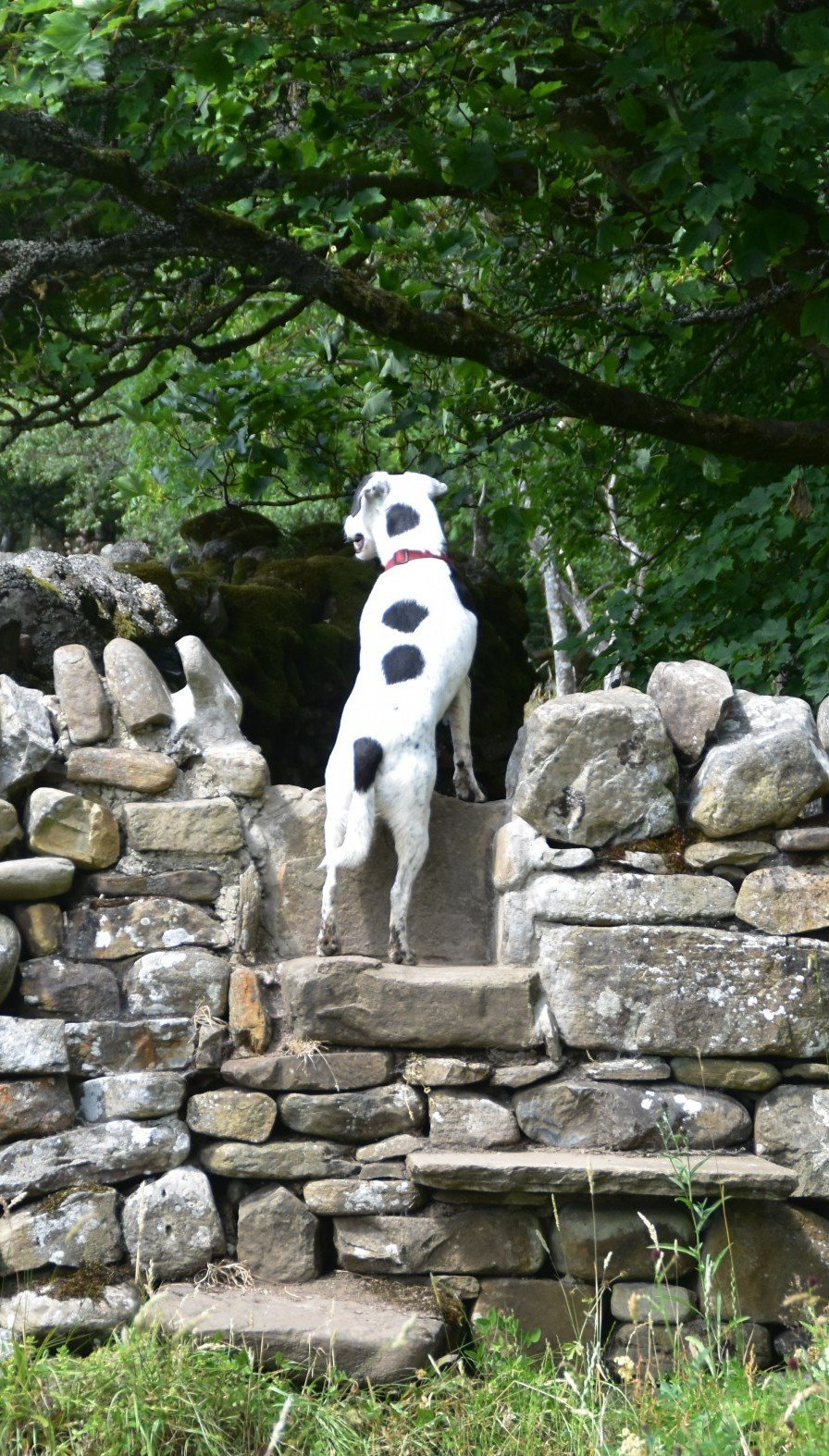 Daisy the dog climbs the steps to peer over a stone wall