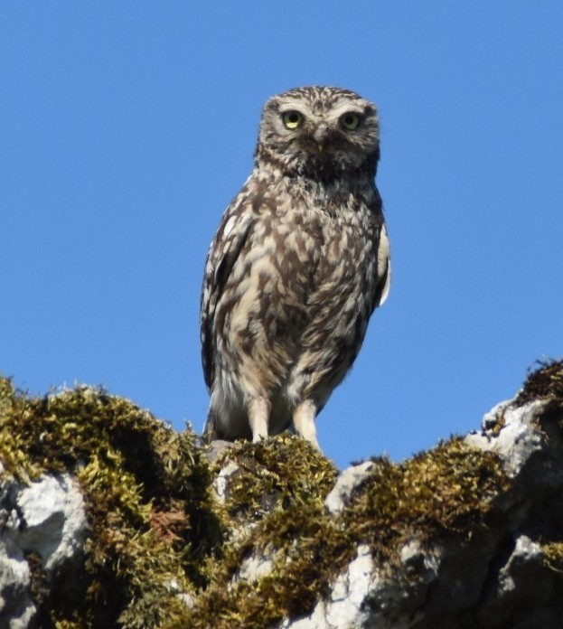 Little owl on stone wall near Pen-y-Ghent, Pennine Way