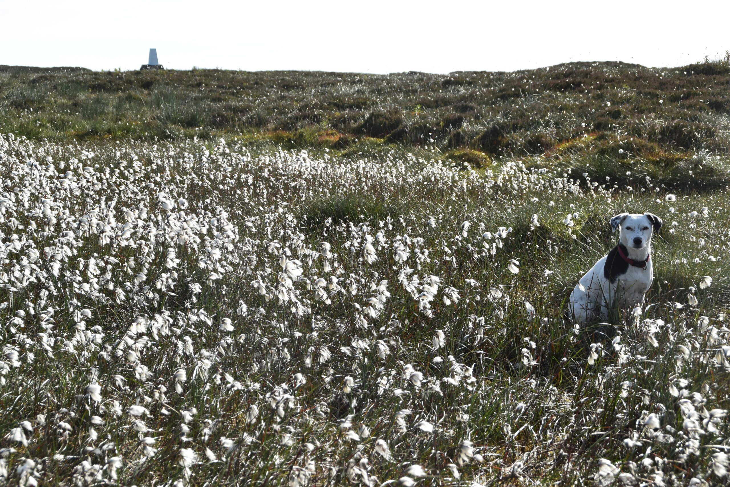 Daisy sitting in cottongrass on Pennine Way with trig point in background