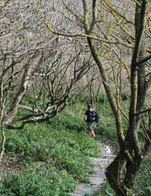 Hiker and dog on beautiful path through twisted forest on South-West Coast Path