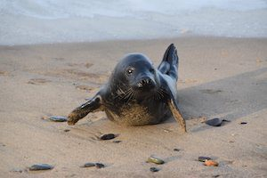 British wildlife, young seal pup on beach with flippers apart