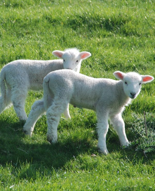 South-West Coast Path - two lambs facing camera