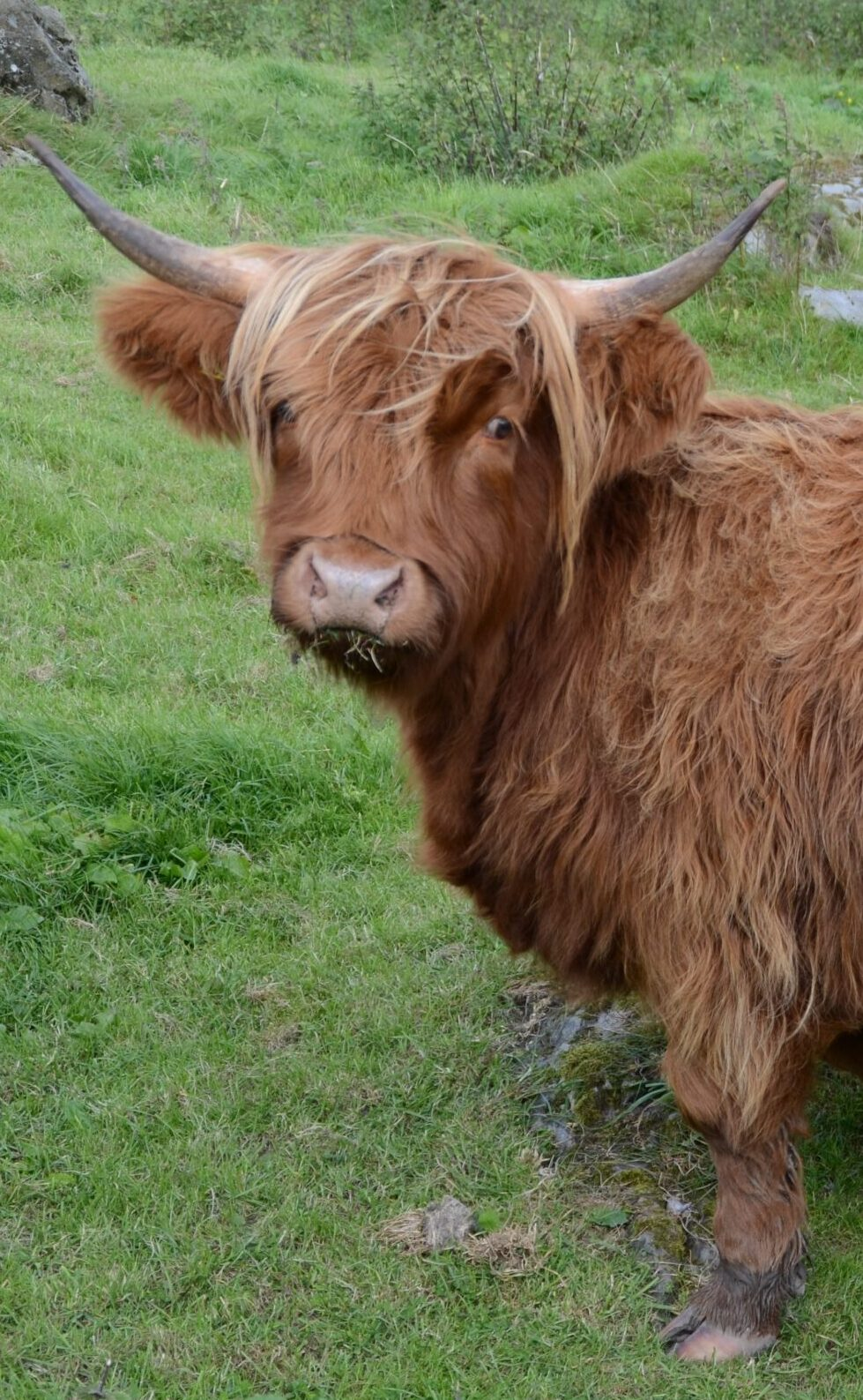 Highland cow on the Dales Way