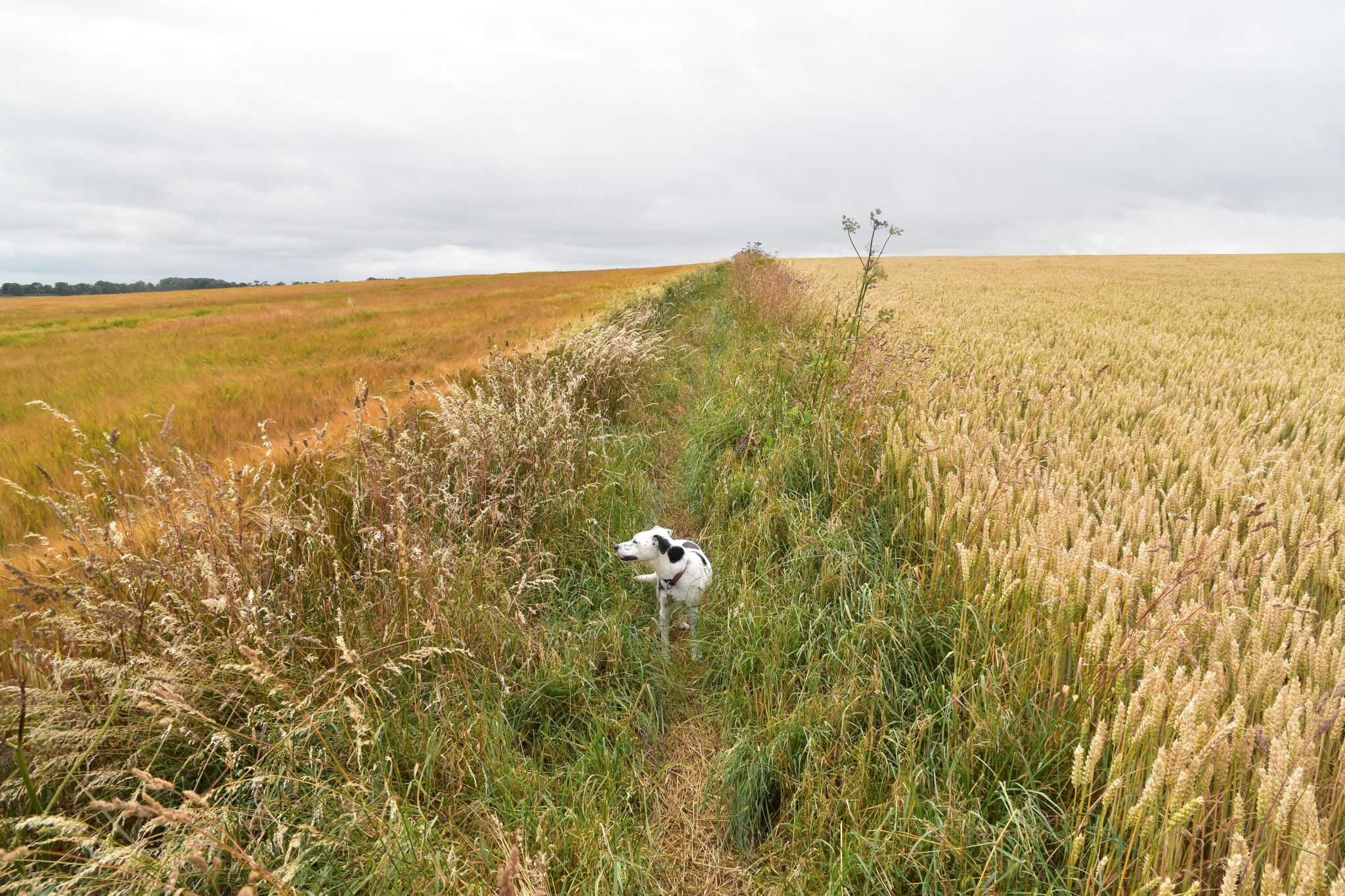 Daisy the dog strolls through fields of wheat and barley on the Yorkshire Wolds WAy